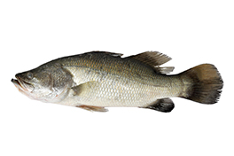 Photo of a Barramundi