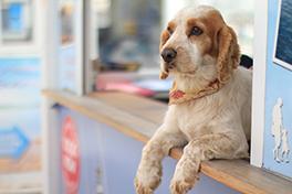 En hund som ligger på disken i en butikk.